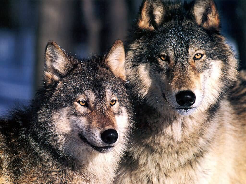 Wolves were reintroduced to Yellowstone National Park in the 90s
